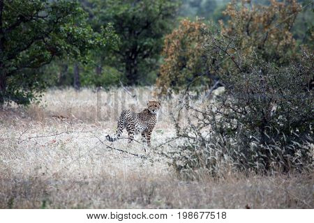 Wild African Cheetah in their natural environment. Botswana Africa