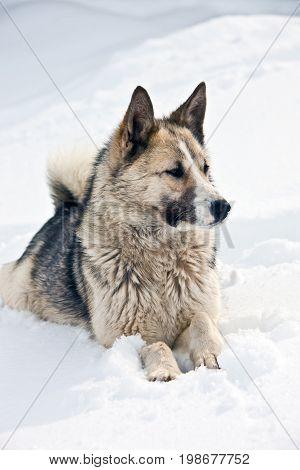 Siberian hunting dog (Laika husky) lies on the snow. Aboriginal dog Kamchatka Russia