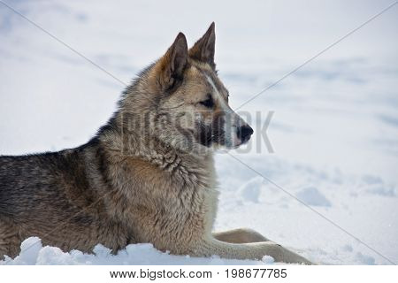 Adult female Eastern-Siberian husky lies on the snow. Native Siberian hunting dog Laika. Kamchatka Russia husky sled dog