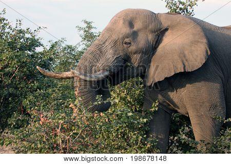 Elephant eating acacia. Male African elephant with tusks feeds on the shrub. Botswana Africa.