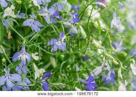 Blue And White Trailing Lobelia Sapphire Flowers Or Edging Lobelia, Garden Lobelia.