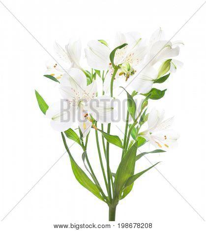 White Alstroemeria flowers  isolated on white background.