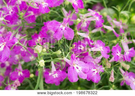 Purple Trailing Lobelia Sapphire Flowers Or Edging Lobelia, Garden Lobelia.