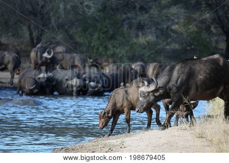 Calf and cow African Buffalo come to the waterhole. A herd of Buffalo with a natural pond at a waterhole in Botswana