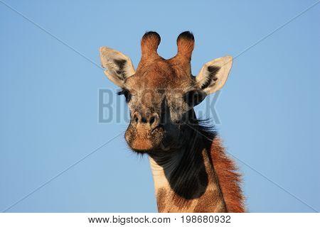 Giraffe in the savanna of South Africa during a hunting Safari.