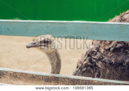 Ostriches In The Paddock Of The Farm. Ostriches On The Farm