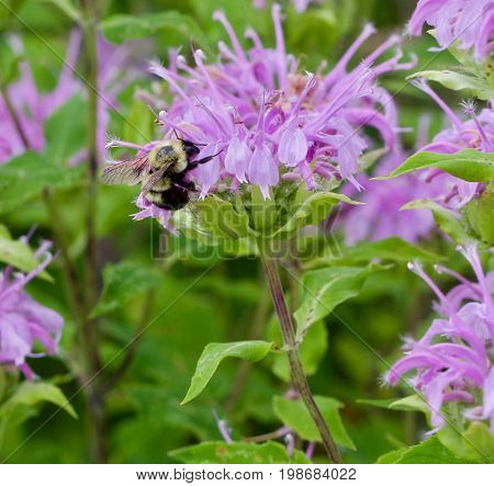 harvesting Bumble Bee on a purple Bergamot
