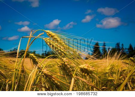 Ripe grain field in the summer in Prince Edward Island