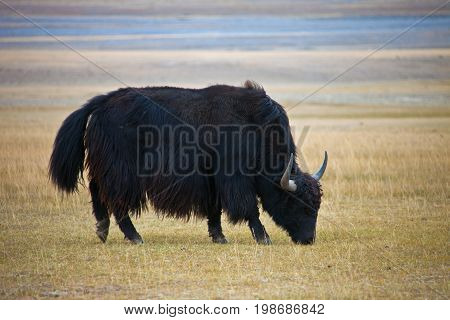 Adult male wild Yak grazing in the steppe. Tien Shan Kyrgyzstan