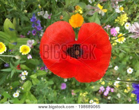 Ref Poppy Large Flower on Wildflower Background