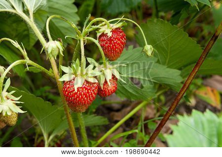 Ripe Berries And Foliage Strawberry. Strawberries On A Strawberry Plant On Organic Strawberry Farm..