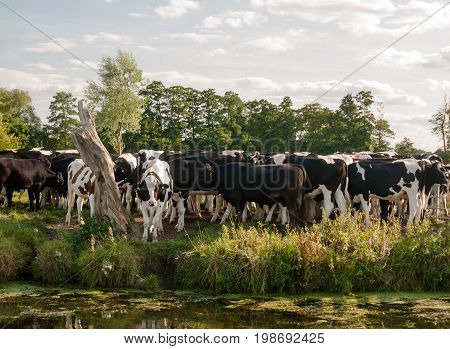 A Group Of Cows Closely Bunched Together As Seen From Across The River On A Summer's Day