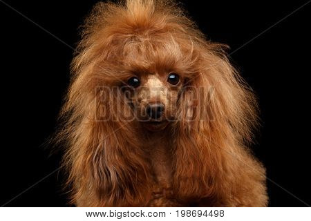 Portrait of Red Toy Poodle Dog Curious Looking in Camera on Isolated Black Background, front view