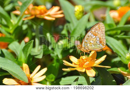 High Brown Fritillary butterfly, Argynnis adippe on flowers in garden. Fritillary butterfly feeding on flowers