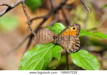 Arethusana arethusa, the false grayling butterfly resting on a leaf. Orange butterfly in natural habitat