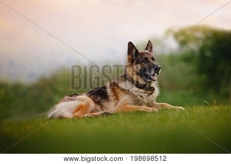 German shepherd dog lies on the green grass, the background is blurred, a glare of light from the sunset. Concept of a human security guard.