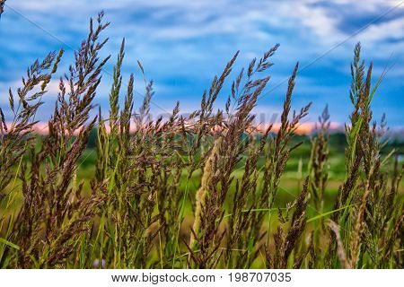 decline in the summer in Russia. Cones of a grass develop on wind