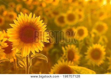 Amazing beauty of sunlight on sunflower petals. Beautiful view on field of sunflowers at sunset
