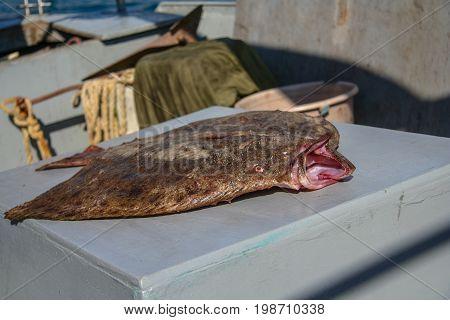 Freshly caught fish are Black Sea flounder. Black Sea Balaklava Crimea Ukraine. May 2009