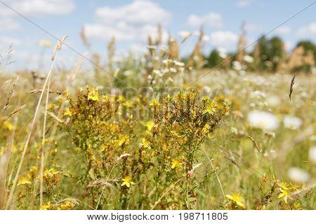 Hypericum perforatum, a perennial rhizomatous herb known as Perforate St John's-wort
