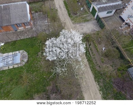 Blooming Cherry Plum. A Cherry Tree On The Road. White Flowers Of Plum Trees On The Branches Of A Tr
