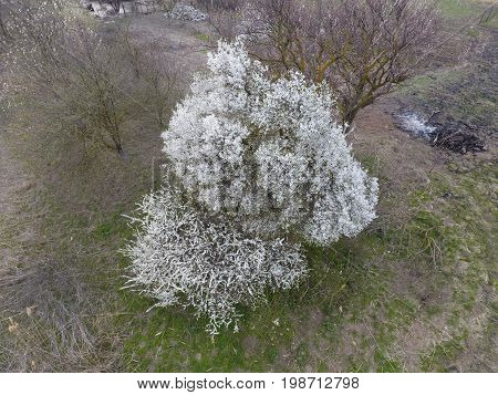 Blooming Cherry Plum. A Plum Tree Among Dry Grass. White Flowers Of Plum Trees On The Branches Of A