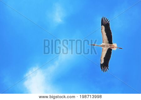 Stork is flying in bright blue sly