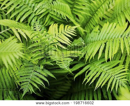 Fern leaf green foliage a natural plant background in the form of a frame in the sunlight