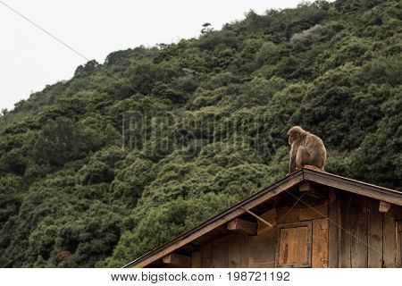 Japanese Macaque monkey sits on the roof of a wooden house with mountain jungle behind her