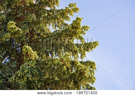 Spruce branches with cones against the sky. Spruce tree with a very large number of young cones.