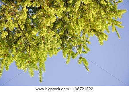 Branches of fir with young shoots against the sky. Fir branches illuminated by the afternoon sun.