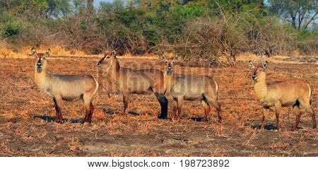Herd of Waterbuck standing on the dry plains in South Luangwa Zambia