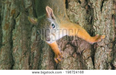 Close up Portrait of Squirrel Hanging head down - Beautiful forest Red furry Animal.