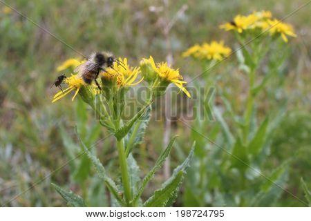 A shot of a wild bee in Valemount, British Columbia.