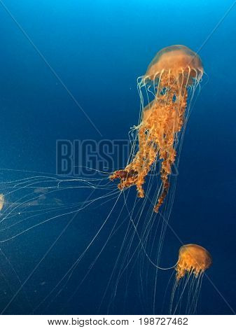 two spectacular jellyfish swining on dark blue background