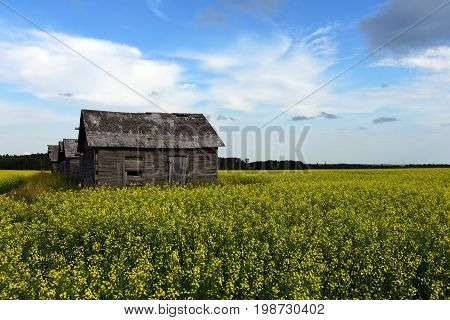 An image of old run down wooden granaries in a canola field.