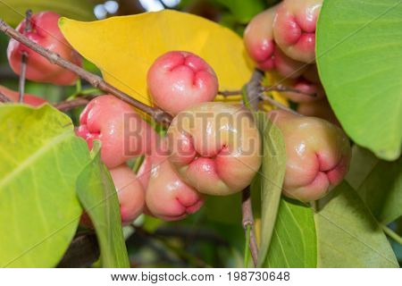Syzygium fruits and leaves on a tree in a garden. Water rose apple in Thailand