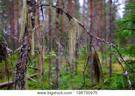 A multicolored lichen Usnea hangs on a birch branch in a wild forest. A beautiful natural phenomenon