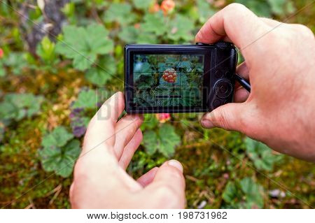 A person photographs cloudberries with a compact camera from a very close distance. Interesting hobby.