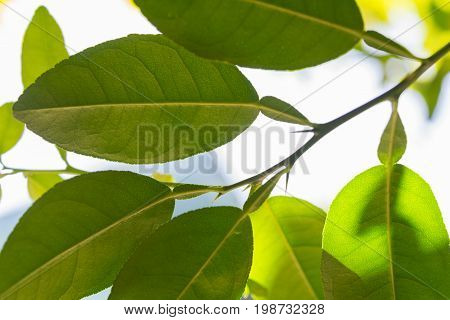 Kaffir lime leaves outdoors with sky in the background