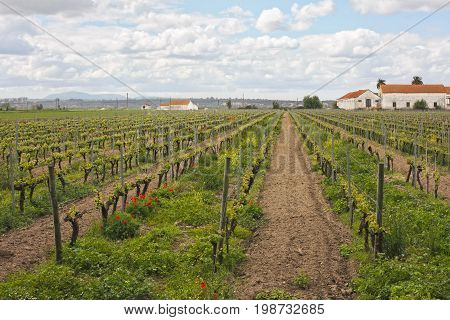 Vineyard and agricultural fields in the lands of a farm in Cartaxo Portugal