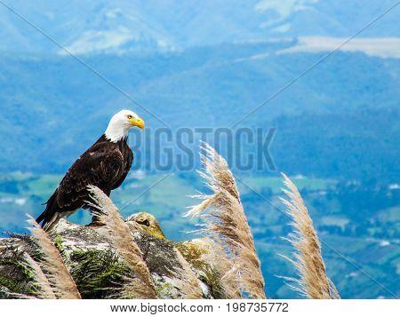 Bald Eagle on Rocky Outcrop in the Mountains of Ecuador