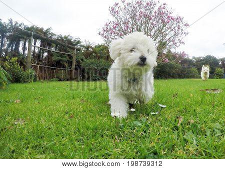 White bichon frise and west highland terrier westie dogs running in garden in New Zealand NZ