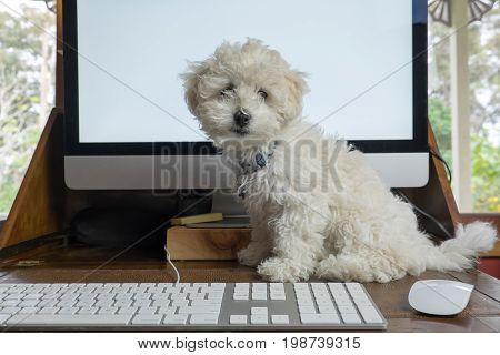 Working from home office with bichon frise puppy dog on desk with computer screen keyboard and mouse