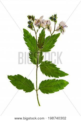 Pressed and dried flowers veronica officinalis isolated on white background. For use in scrapbooking floristry (oshibana) or herbarium.