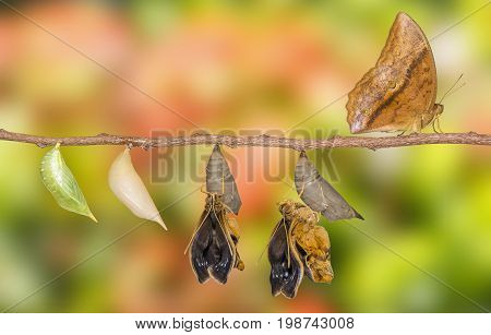 Life Clycle Of Common Duffer Butterfly ( Discophota Sondaica Boisduval ) On White