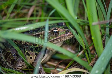 A northern leopard frog peeks between blades of grass.
