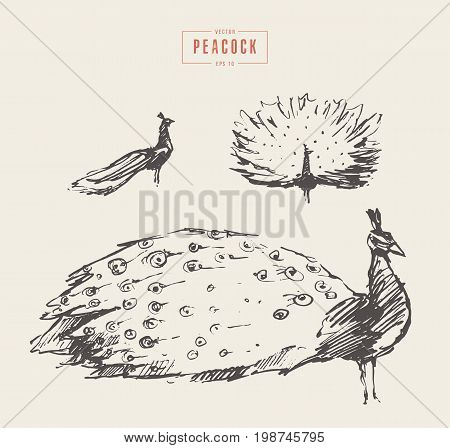 Collection of realistic illustration of a peacock, hand drawn vector illustration, sketch