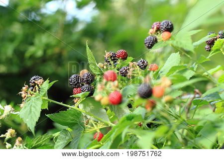 Blackberries Plant Background With Fruits