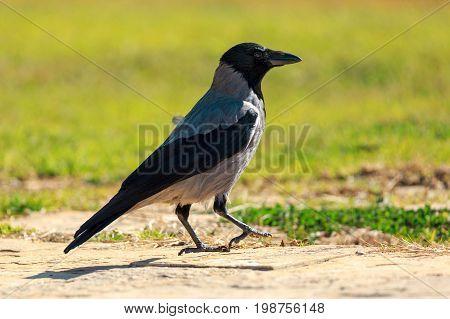 Big Gray Hooded Crow Walked